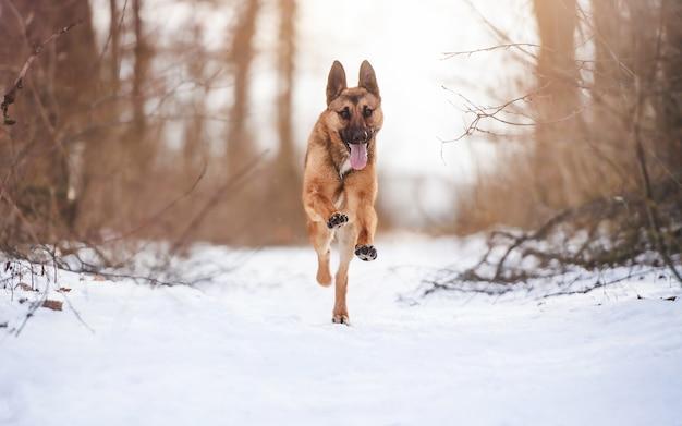 Cane da pastore felice che corre nella neve fresca