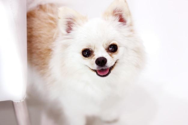 Cane bianco sveglio sorridente felice del pom