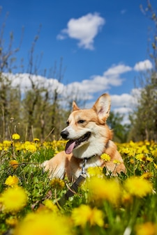 Felice welsh corgi pembroke dog sitter in giallo campo di tarassaco nell'erba sorridente in primavera
