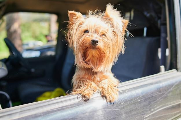 Un felice yorkshire terrier cane la testa fuori dal finestrino di un'auto in movimento e guida.