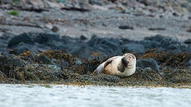 Foca del porto che si trova sulla riva rocciosa nel deserto dell'islanda