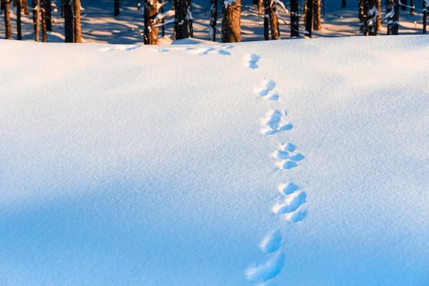 Orme di lepre nella neve nella foresta.