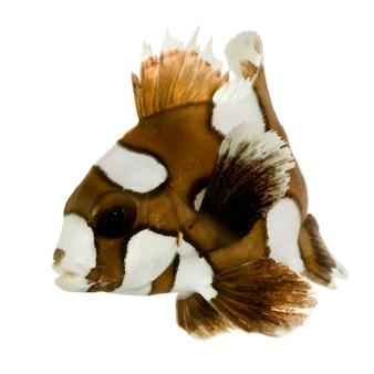 Sweetleps arlecchino o pagliaccio di fronte su un muro bianco