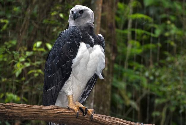 Aquila arpia appollaiata sul ramo di un albero