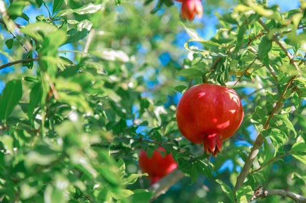 Vendemmia: i frutti del melograno maturano sull'albero