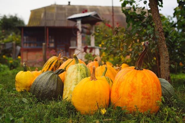 Raccolto di zucche sullo sfondo del giardino