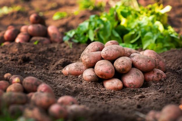 La raccolta della patata matura e fresca è a terra