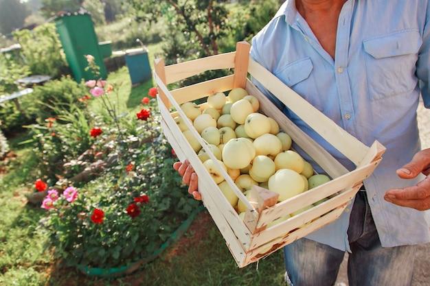 Raccogli mele bianche in una scatola di legno prodotti pronti per l'esportazione importazione di merci stagionali un anziano m...