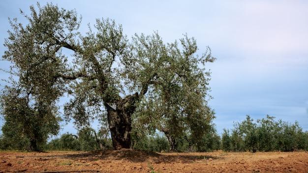 Olive fresche raccolte in un campo per la produzione di olio d'oliva in andalusia, a sud del paese spagnolo