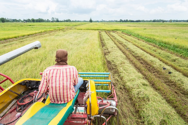 Macchina agricola della mietitrice e raccolta nel funzionamento del giacimento del riso