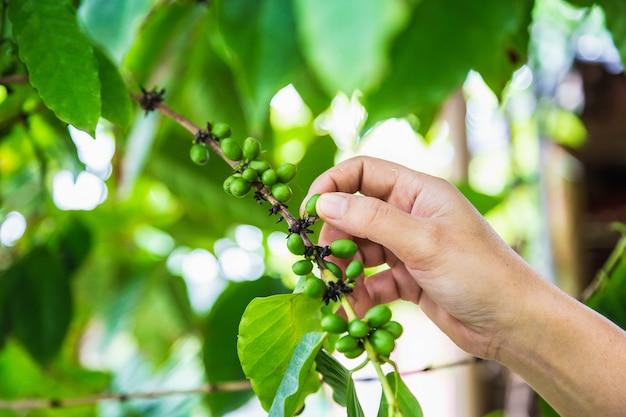 Raccolta dei chicchi di caffè verde freschi dalle mani dell'agricoltore