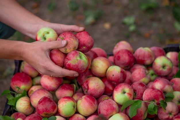 Raccolta di frutti nel frutteto