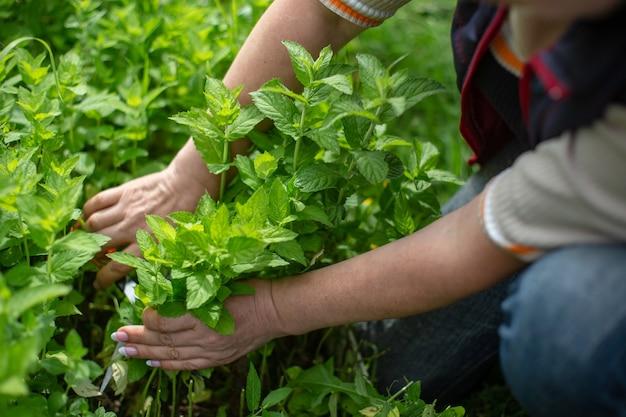Raccolta della menta. mani dell'agricoltore che raccolgono foglie di menta in giardino concetto di erbe sane.