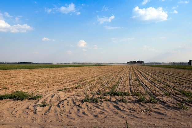 Campo di raccolta della cipolla - campo agricolo dove la raccolta e le cipolle, si chiudono