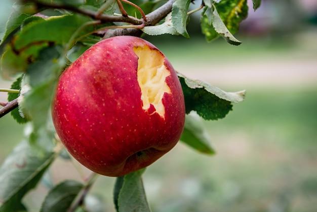 Raccolta di mele rosse in scatola di plastica nera.