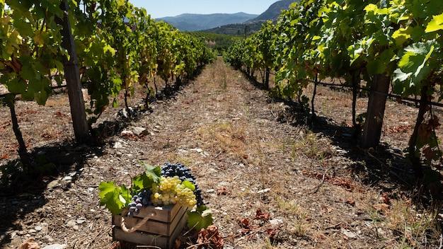 Vendemmia con un filare di viti e un cesto di uva