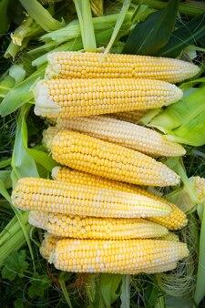 Raccolta del mais giallo
