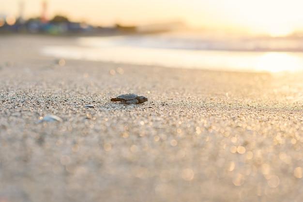Tartaruga marina covata striscia sulla sabbia verso il mare all'alba in attesa di una nuova vita