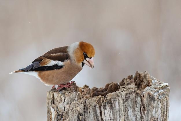 Hawfinch coccothraustes coccothraustes bird nella foresta sulla mangiatoia. uccello d'europa.
