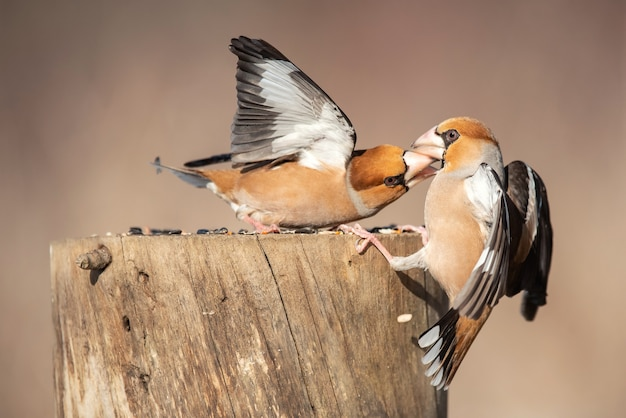 Hawfinch (coccothraustes coccothraustes) lotta all'alimentatore.