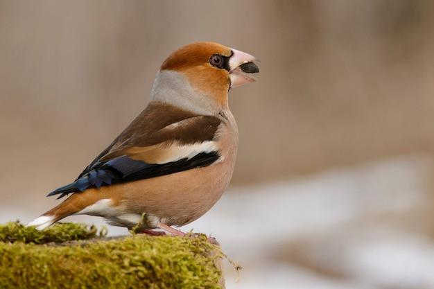 Fringuello (coccothraustes coccothraustes) sulla mangiatoia per uccelli invernali.