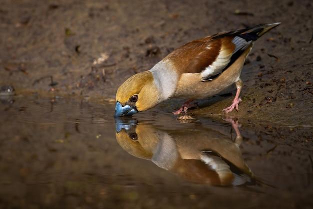 Hawfinch in piedi sulla riva del fiume fangoso chinarsi sulla superficie dell'acqua e bere