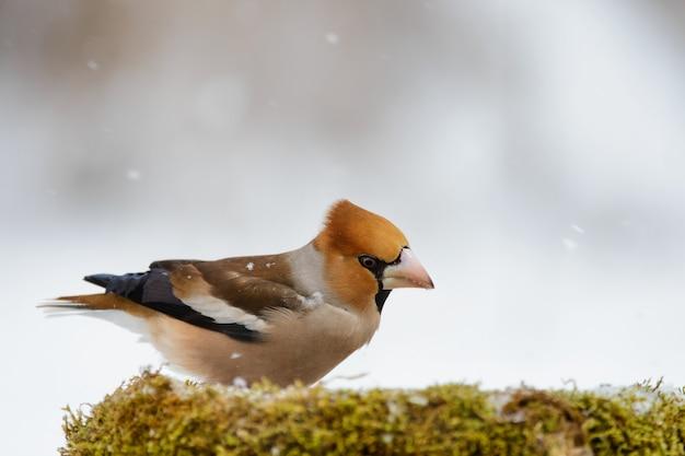 Hawfinch all'alimentatore invernale su uno sfondo bellissimo.