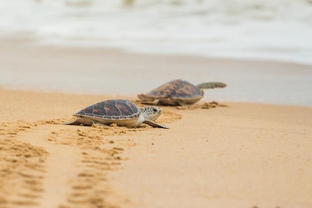 Tartaruga di mare di hawksbill sulla spiaggia, tailandia.