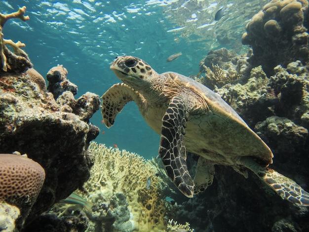Hawksbill sea turtle o eretmochelys imbricata nuota su una barriera corallina