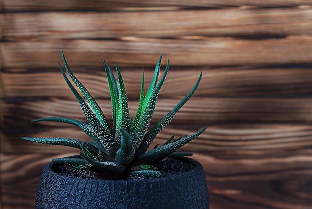 Succulente haworthia su un tavolo di legno