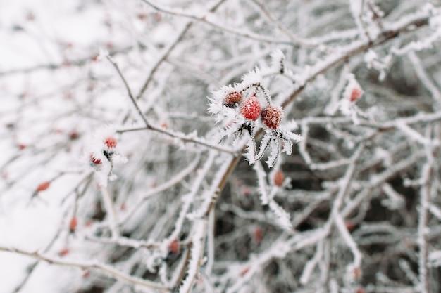 Biancospino sull'albero gelido. bastoncini congelati con bacche rosse gelide su di esso. freddo, inverno, gelate precoci, concetto di brina