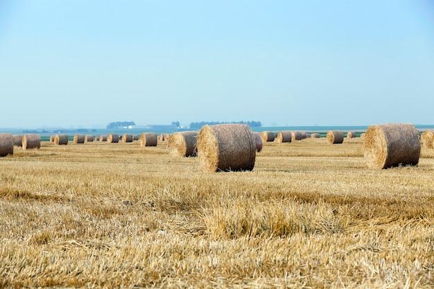Mucchi di fieno in un campo di paglia - un campo agricolo su cui sono disposti i mucchi di fieno di paglia dopo il raccolto di cereali, frumento