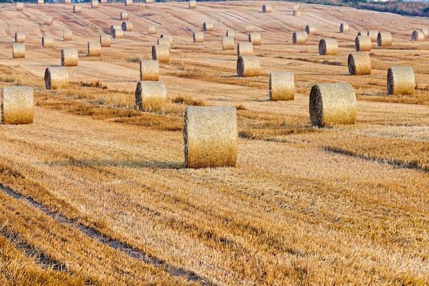 Mucchi di fieno in un campo di paglia mucchi di fieno paglia lasciata dopo la raccolta del grano