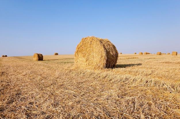 Paglia dei mucchi di fieno che giace nel campo agricolo dopo la raccolta dei cereali