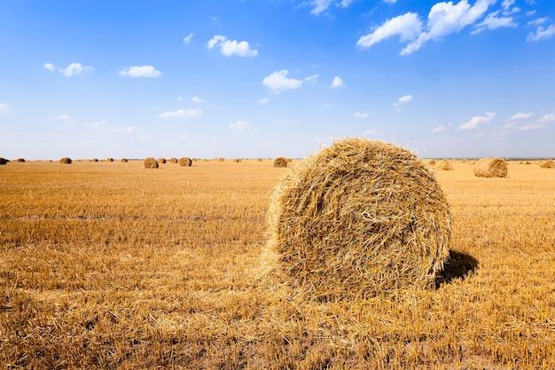 Paglia dei mucchi di fieno - ammucchiati nella paglia dei mucchi di fieno del campo agricolo. cereali. estate