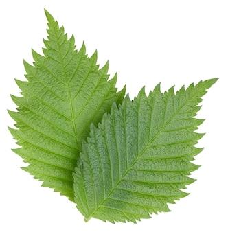 Nocciola foglie di noce isolati su sfondo bianco. lascia il percorso di residuo della potatura meccanica del dado