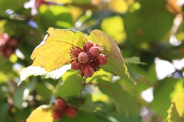 Nocciole su un albero con foglie verdi