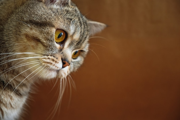 La testa del gatto a strisce dai capelli lisci britannico su uno sfondo marrone.