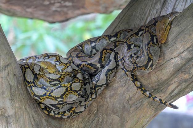Pitone burmese capo nel corpo sull'albero del bastone alla tailandia Foto Premium