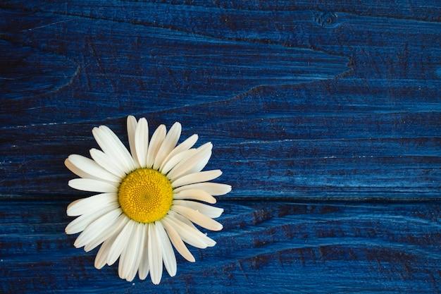 Testa di camomilla margherita su sfondo di legno blu con copia spase per il testo