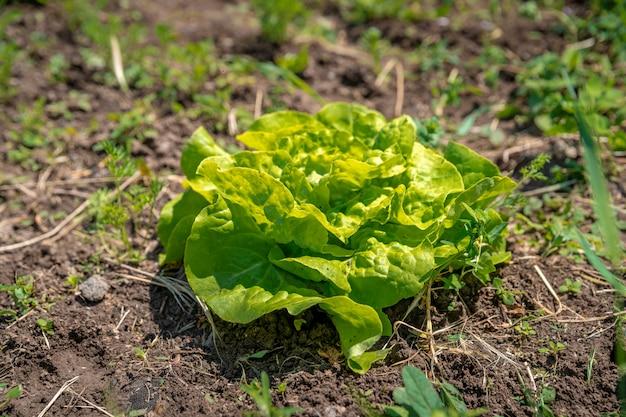 Insalate in un campo in una fattoria biologica coltivata senza pesticidi e prodotti chimici