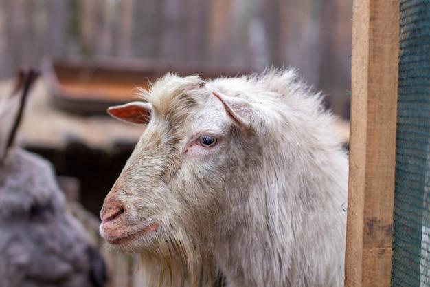 La testa della capra bianca è in primo piano. la capra guarda da dietro il recinto