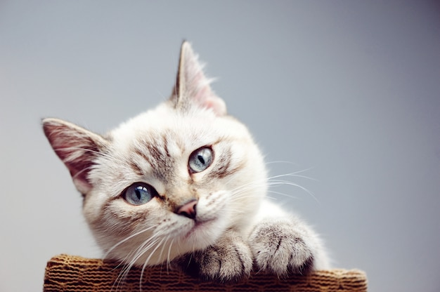 Ritratto del primo piano di colpo in testa di un gatto Foto Premium