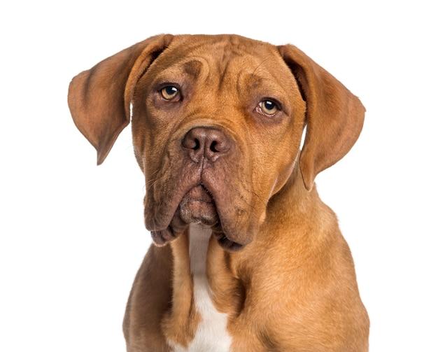 Colpo di testa di un cucciolo di dogue de bordeaux