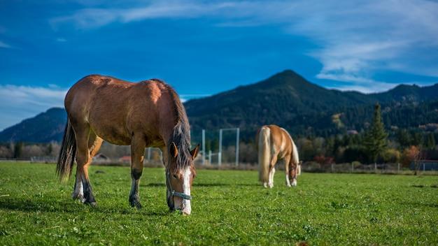 Cavallo sano in un ritratto di pascolo