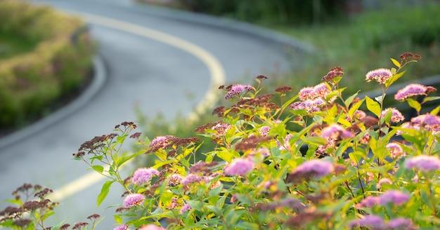 Un mucchio di fioriture di spirea rosa brillante nel cortile sul retro