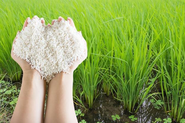 Forma di cuore di riso bianco di grano nelle mani della donna con sfondo di campo di riso