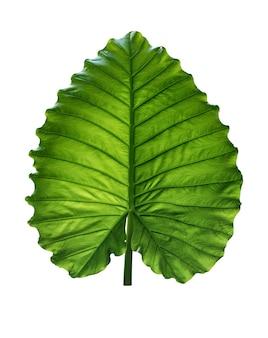 A forma di cuore foglie verdi di orecchio di elefante o taro gigante (alocasia macrorrhizos), pianta della foresta pluviale tropicale bush isolato su sfondo bianco