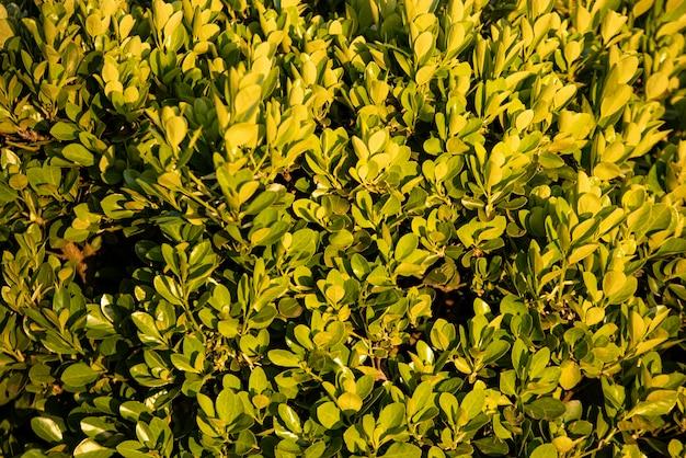 La siepe lascia i dettagli della trama in natura in primavera