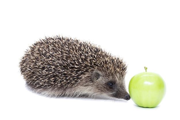 Riccio con mela isolato su sfondo bianco. macro, primo piano